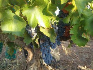 Cepa de uva Garnacha Fanbar